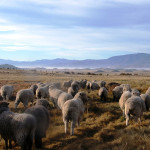 Sheep at Tawanda Farm