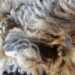 Fleece from Tawanda Farm